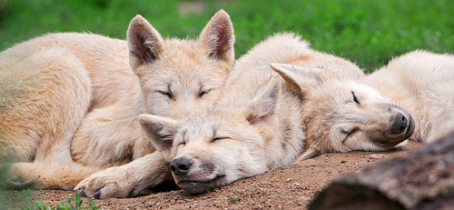 Wolf Pups Sleeping