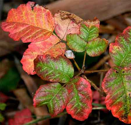 Poison Oak Leaflets Showing Coloration