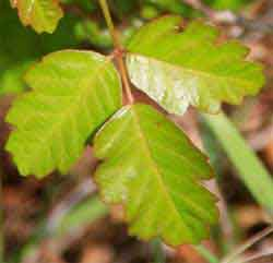 Poison Oak Leaflets