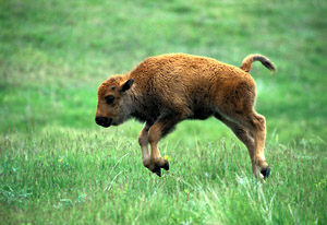 Northwest Trek Bison Jumping