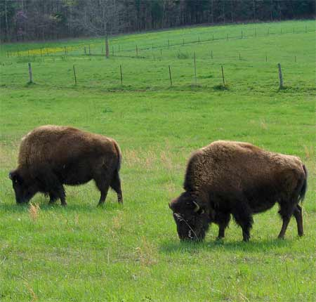 American Bison, Not Buffalo